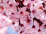 Cherry Blossom aroma olie, kersenbloesem geur