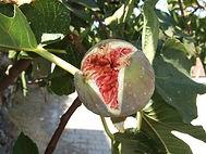 Fig Essence aroma olie, geur