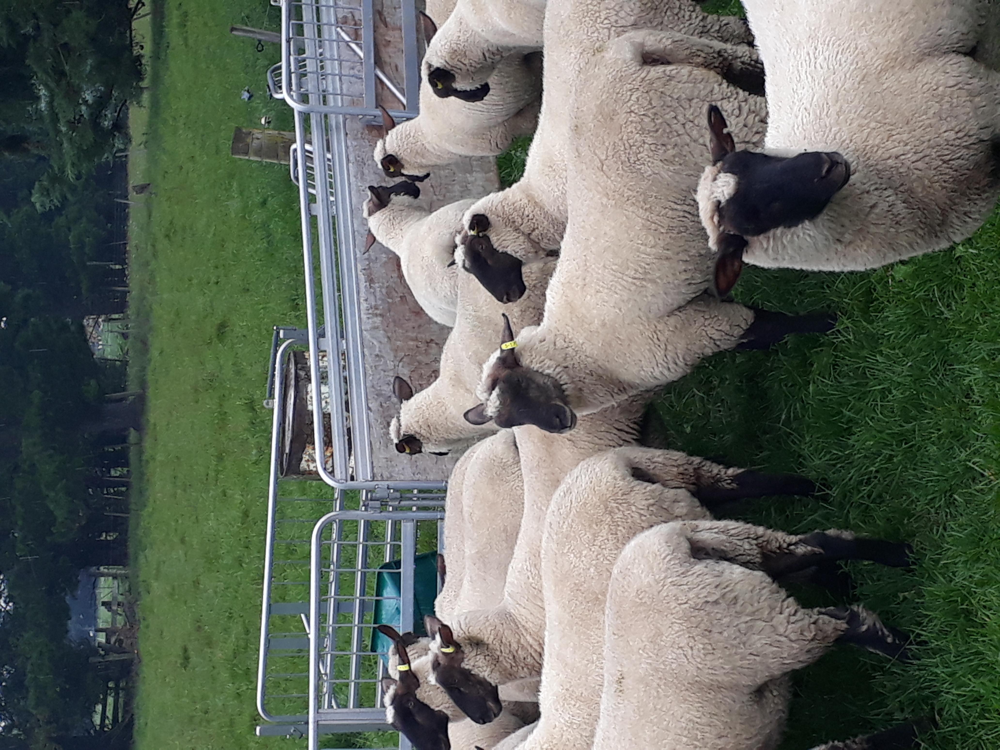 South Suffolk Sheep