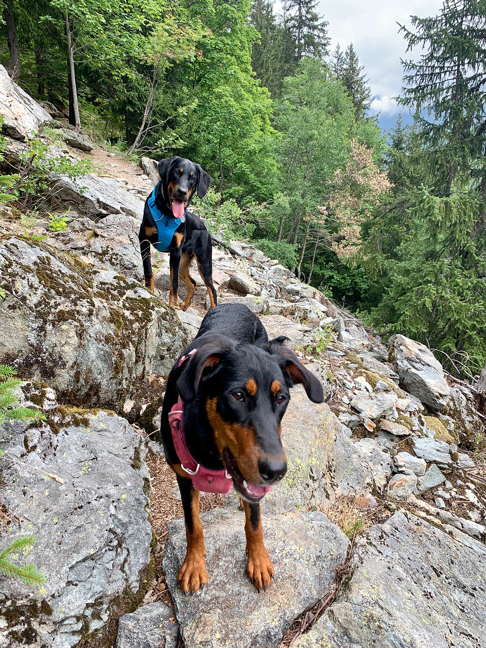 Dogs help with my summer walking program