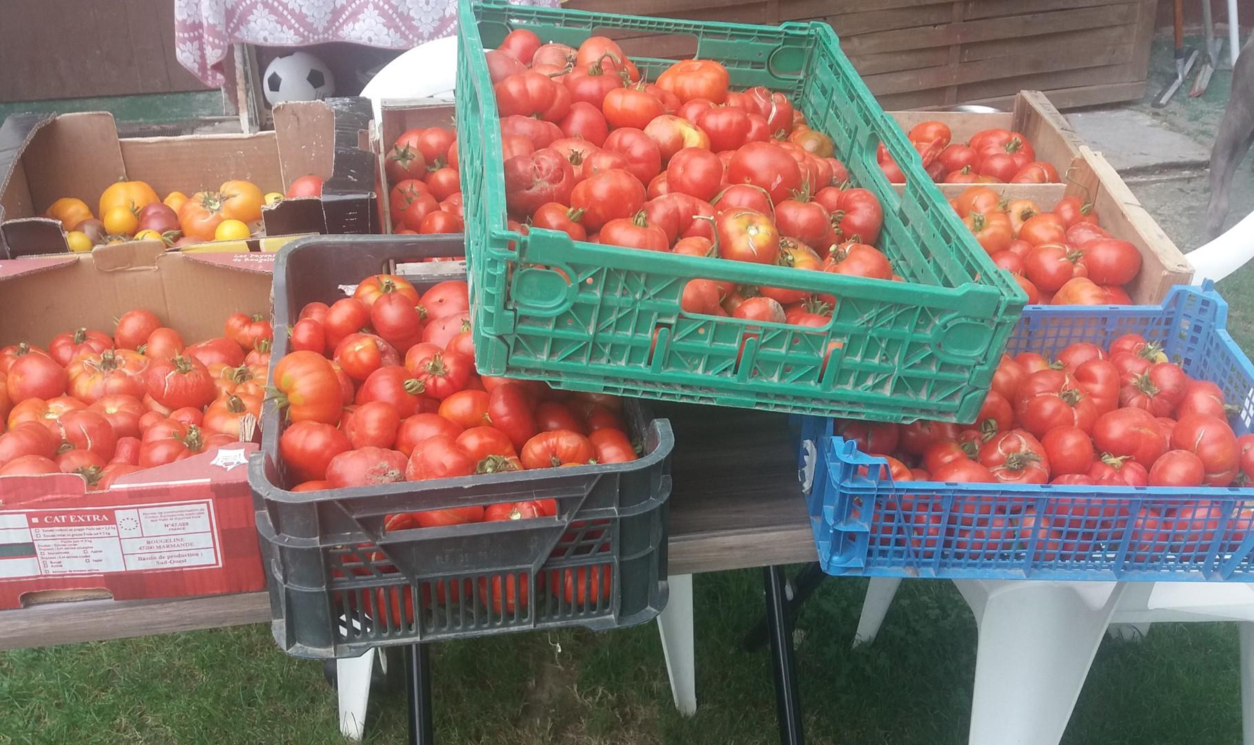 Récolte des tomates du jardin