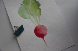 Raddish Watercolor Angelina Dederer