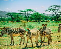 zebras2 (1 of 1).jpg