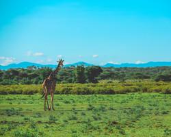giraffe back (1 of 1).jpg