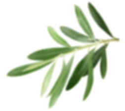 branch with olive leaves isolated on a w