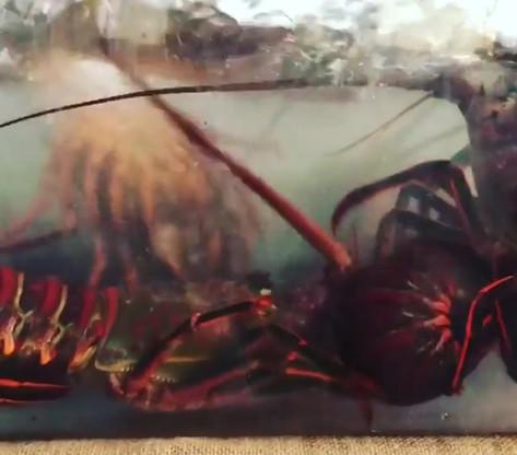 CA Spiny Lobster