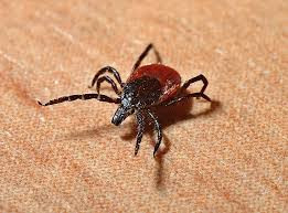 TICK SEASON IS THE REASON, TO USE ESSENTIAL OILS!