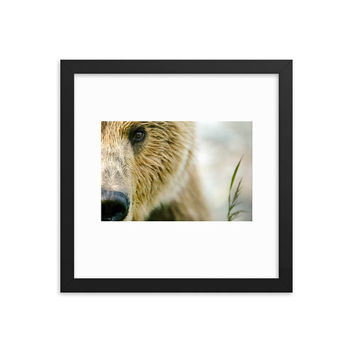 Framed 12 x 12 Brown Bear in Alaska by Casey Anderson