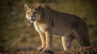 Puma_VisionhawkFilms.jpg