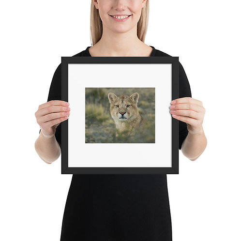 Framed 12 x 12 Mountain Lion By Casey Anderson