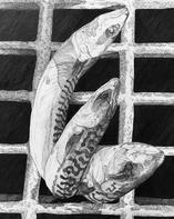 Mackerel in Drain - Forrest Joss