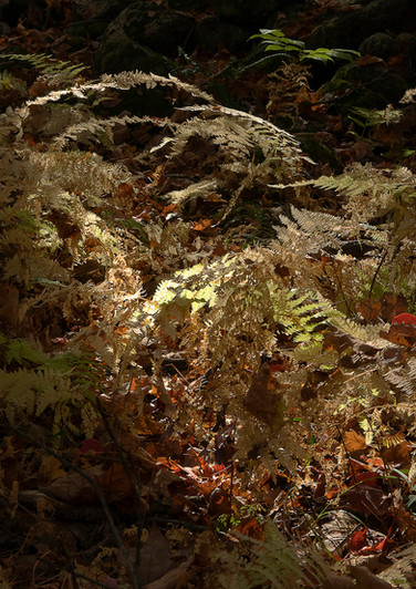Fall Ferns - Tom Ouellette