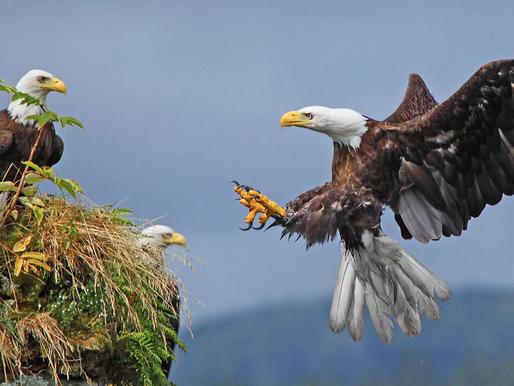 Bald Eagles on Georgian Bay