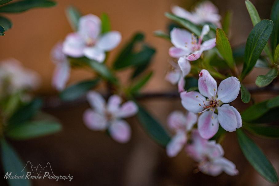 peraphyllum.jpg