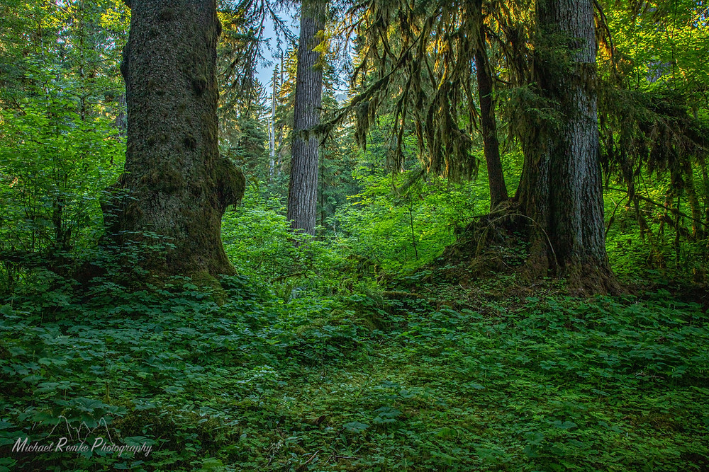 A old growth forest with dense understory and large trees.