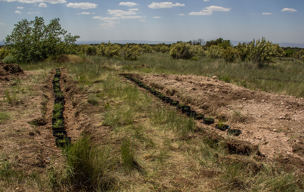 100 trees happily planted on the Brow of the Kaibab Plateau at the warm Piñion Juniper site
