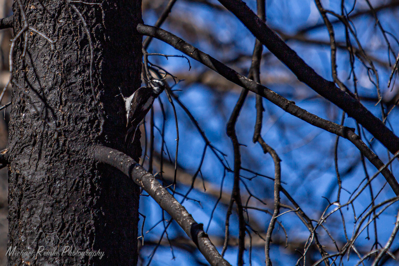 hairywoodpecker3.jpg