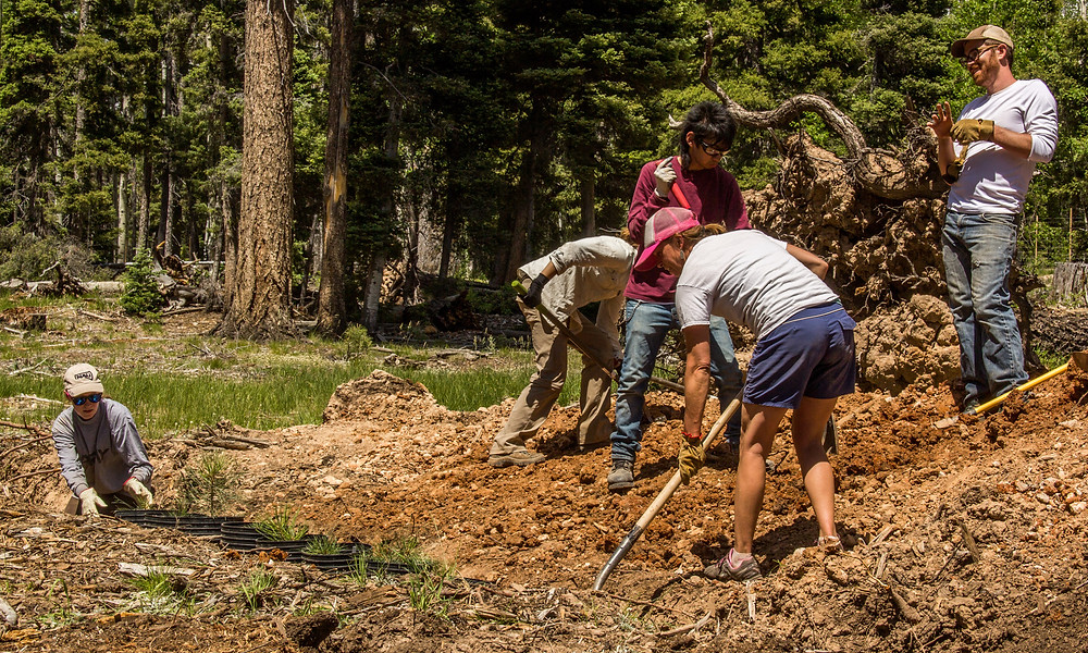 rand Canyon Trust Volunteers help finish the planting of Ponderosa pine at the cool, mixed conifer site.
