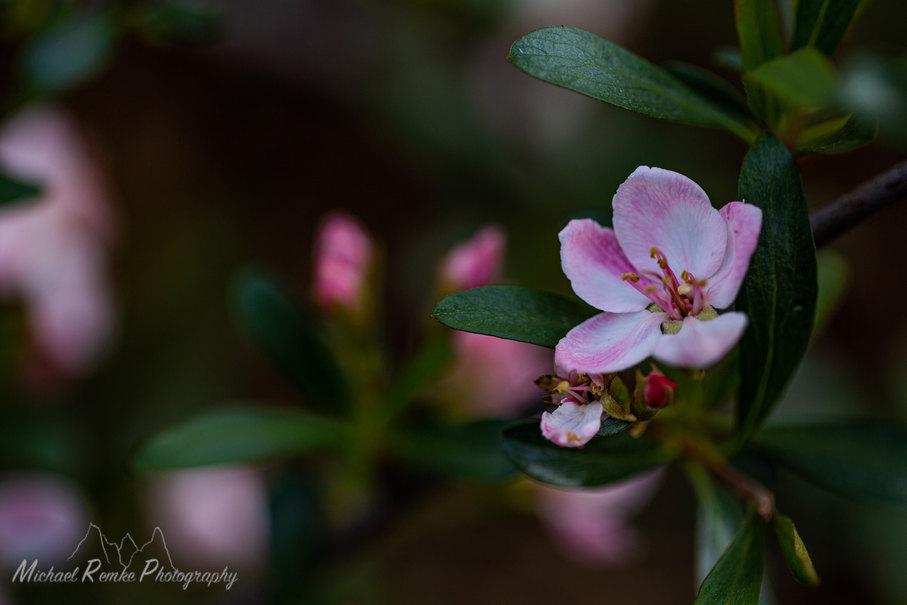 peraphyllum2.jpg