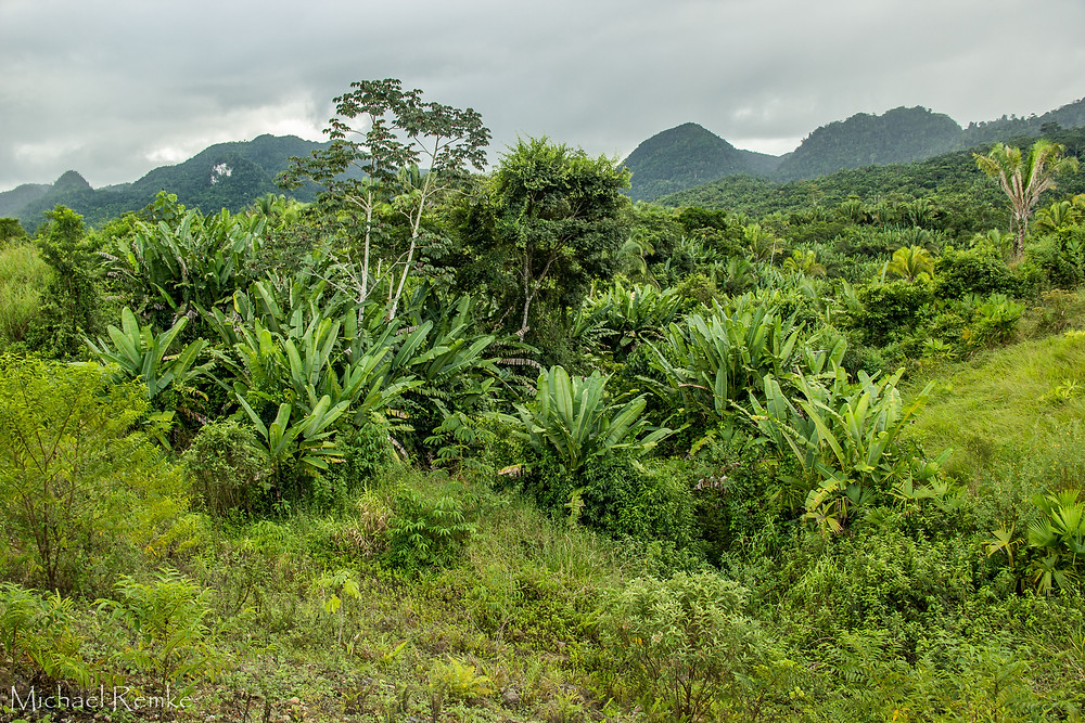 A myriad of species coexist in dense Jungle Systems in the Mayan Mountains. Such diversity is maintained through the accumulation of soil pathogens that limit one species from becoming overly abundant and thus promoting coexistence.