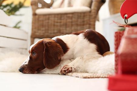 Qué hacer con tu perro en cuarentena