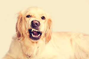 angry-golden-retriever-dog.jpg