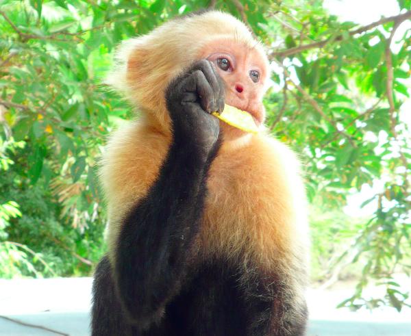 Monos da la cara blanca