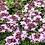 Thumbnail: confit de fleurs de serpolet
