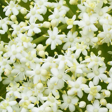 confit de fleurs de sureau