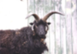 A Scatwell flock hebridean tup from the 1980's