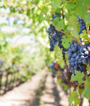 grapes-553462_1280.jpg
