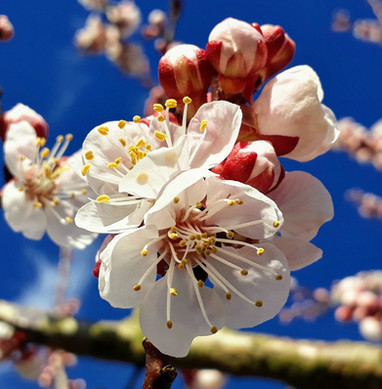 apricot-blossom-4061751_1280.jpg