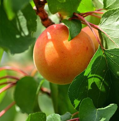apricot-4363217_1280.jpg