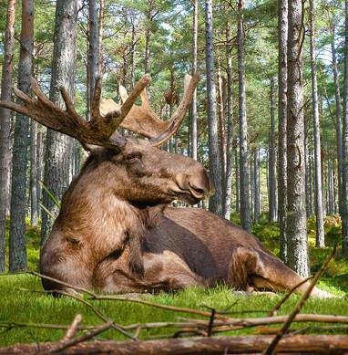 moose-4805194_1280.jpg