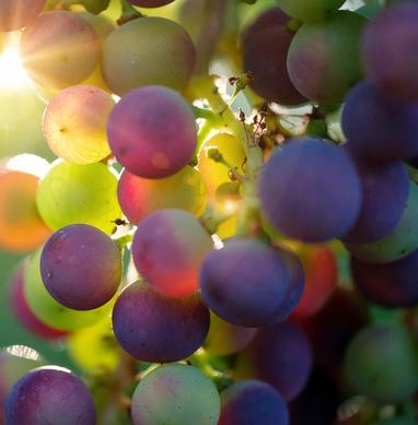 grapes-3550733_1280.webp