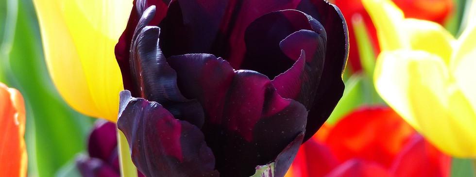 tulip-954305_1280.jpg
