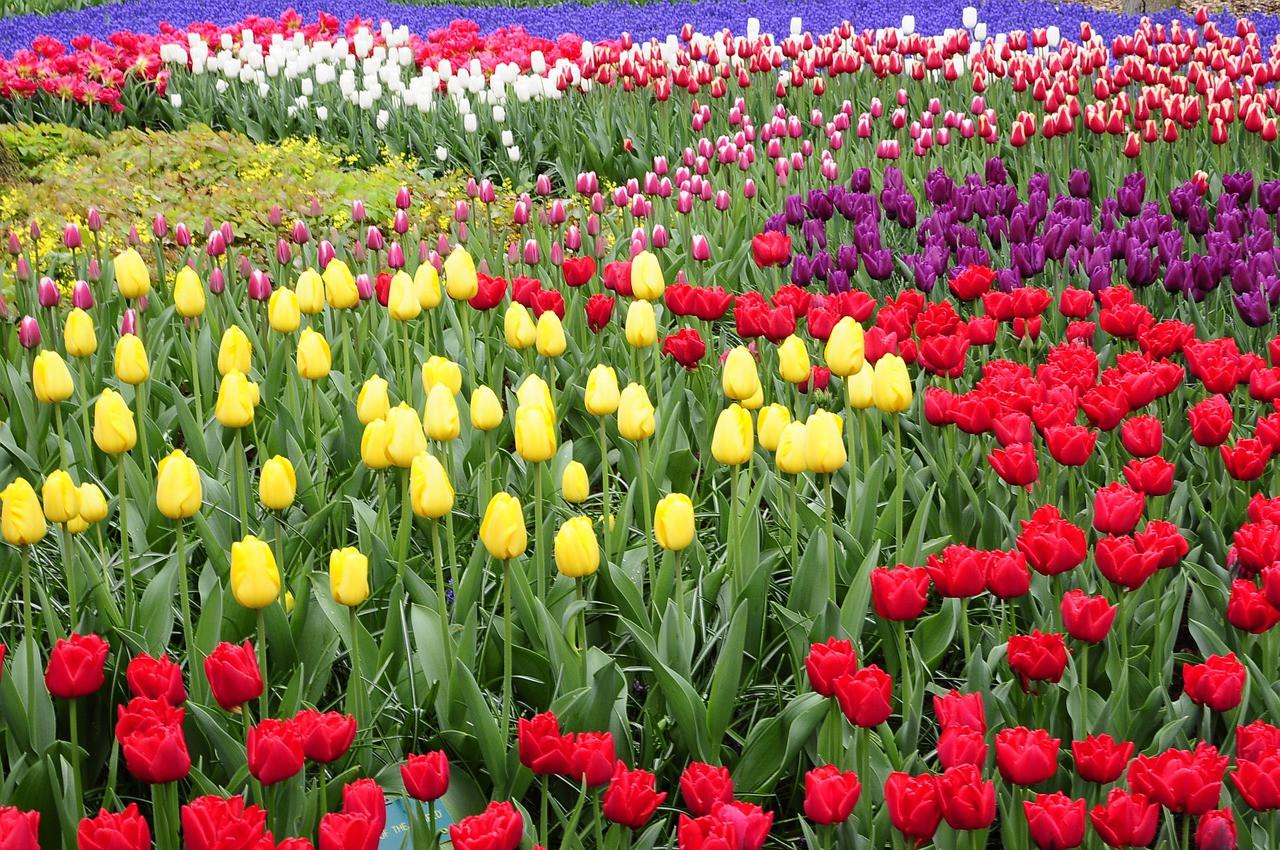 tulip-4600894_1280.jpg