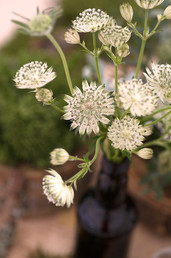Sonya Flower