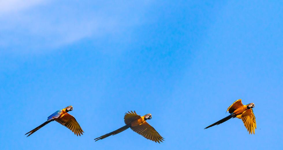 2019 Rio Negro Macaws