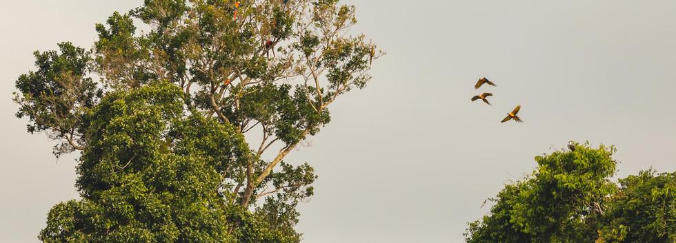 2019 Rio Negro-Tree full of Macaws