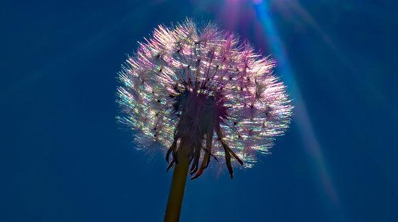 Dandelion Colours