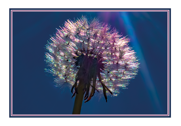 Dandelion - Blank Card