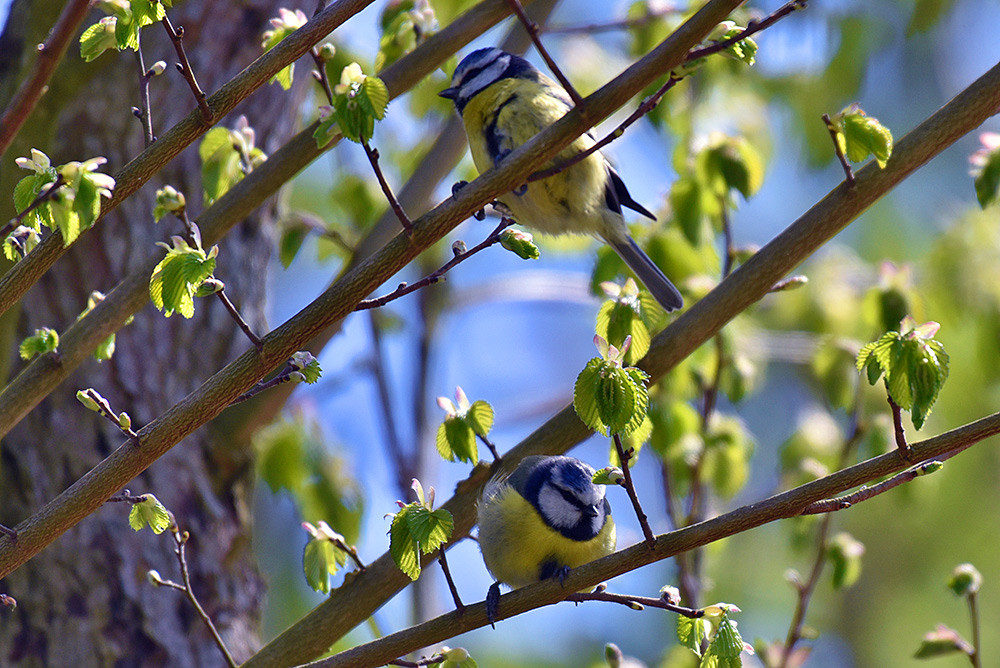 Picture of Blue Tits in a tree