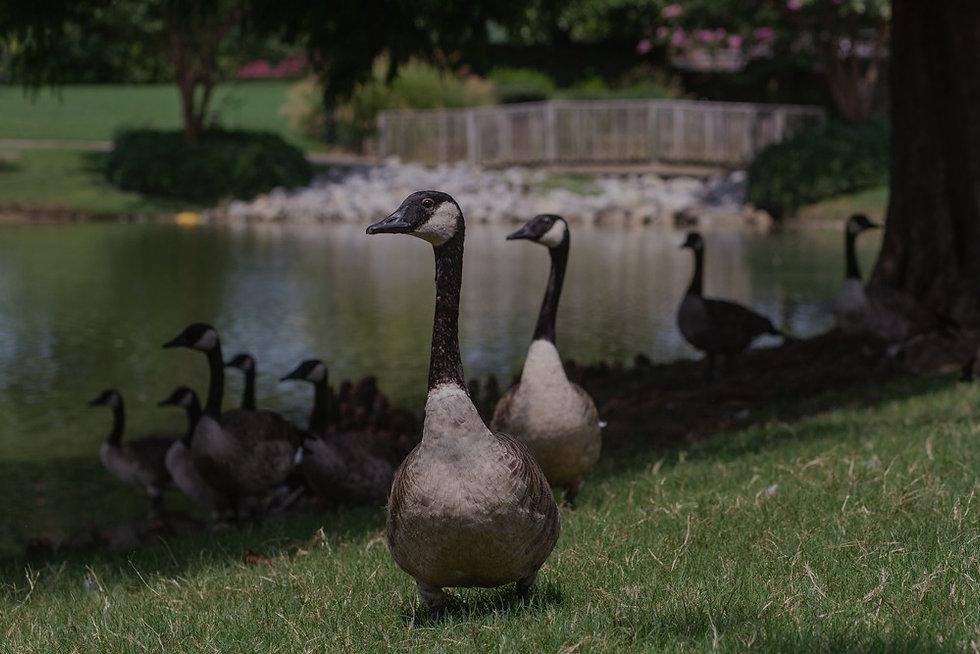 geese-1_edited_edited.jpg