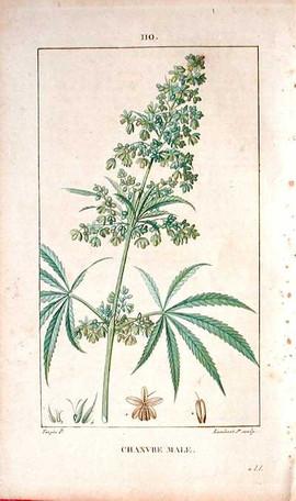 1815 cannabis print.jpg