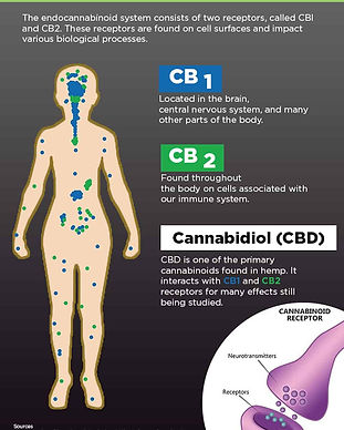 endocannabinoid-system-nobody-actively-d