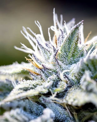 what-are-cannabis-trichomes-1.jpg