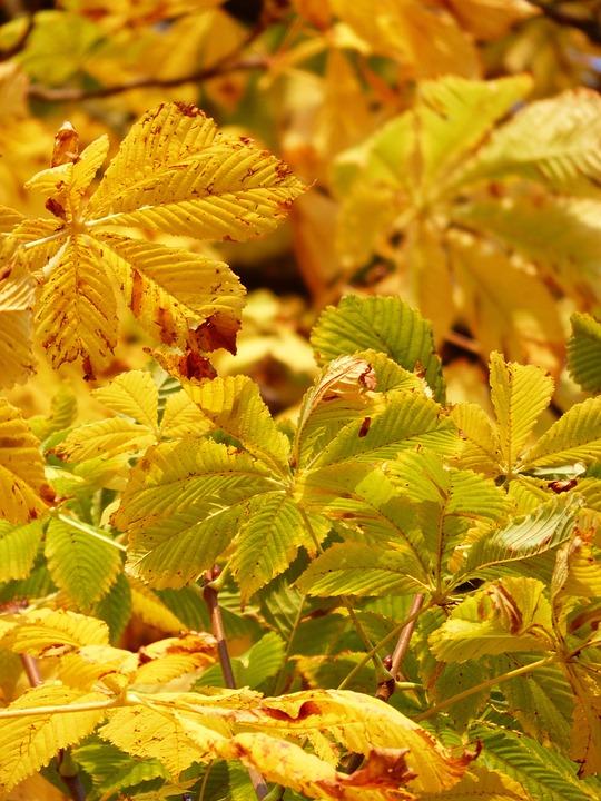 marronniers feuilles jaunes redaction