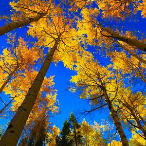 Beautiful aspen trees, Salida Colorado