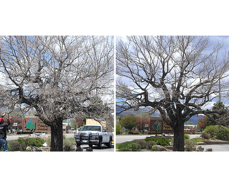 Certified Arborists assist homeowners with hazard tree removals nd professional tree trimming and pruning.